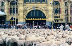 Sheep occupy the intersection of Swanston and Flinders Streets as part of Melbourne's 150th celebrations in 1985