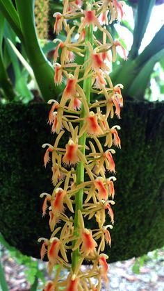 Dendrobium Acuminattissimum | OrchidCraze: My Orchids : Blooming Recently.