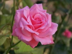 Essential Oils for Summer Wellness. The divine scent of the rose is not the only thing it has going for it...