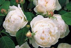 Glamis Castle™® - David Austin® English Roses - Roses - Heirloom Roses