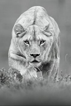 This will be my lioness tattoo! Omg.. maybe after my half sleeve is finished!
