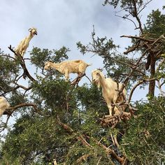 Yes it really is goats in a tree Id behellip