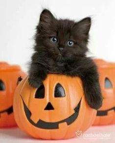 Black kitten in a pumpkin