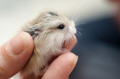 so teeny cutest baby animal - a hamster <3