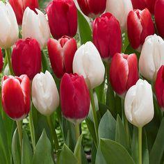 Lumivalko ja Ruusunpuna- lajitelma - Viherpeukalot