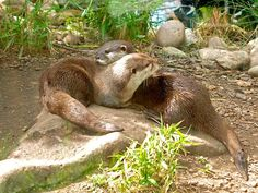 Otters at play - Chester Zoo