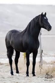I want a black stallion-they just look so mysterious.