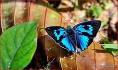 The Bi-spot Royal (Ancema ctesia) is a species of blue butterfly found in Pakistan and India. The larvae feed on Viscum articulatum.