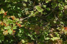junge Vögel an der Ilmenau, wahrscheinlich Fitis Laubsänger