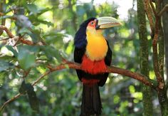 Red-breasted Toucan  II by Itamar Campos on 500px