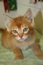 Nugget is an adoptable Tabby - Orange Cat in Brigham City, UT. Nugget is a male kitten, available for adoption. Please call the shelter 435-723-1231 between 4-6 PM Tuesday through Friday and 9 AM to 1...