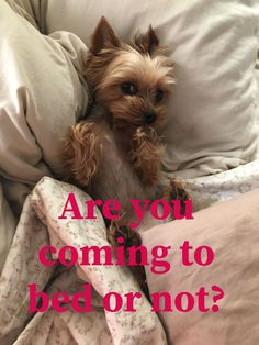 The Popular Pet and Lap Dog: Yorkshire Terrier - Champion Dogs Yorkies, Yorkie Puppy, Baby Yorkie, Yorky Terrier, Yorshire Terrier, Cute Puppies, Cute Dogs, Poodle Puppies, Top Dog Breeds