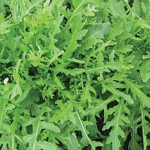 Gourmet Arugula -A slow-to-bolt 'Wild Rocket' with attractive, serrated edges. Highly serrated leaves have a more refined appearance than standard wild rocket, adding a nice touch to sandwiches, salads and pasta. Spicy flavor is excellent, too. Consistenly the slowest arugula to bolt in trials.