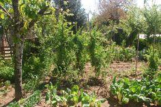 plantas de goji