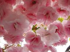 kasumi sakura flower essence for obligations