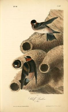 Clif Swallow. (Nests) From New York Public Library Digital Collections.