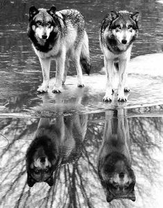 Beautiful wolves!