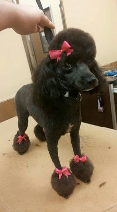 Lovely poodle pet clip desert reefs silver addition addie girl poodles smart active and proud dog grooming solutioingenieria Images