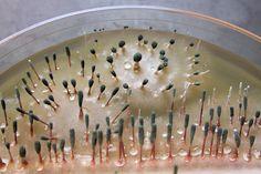 Penicillium claviforme on a petri plate