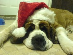 Tank, the St. Bernard. In a holiday outfit.