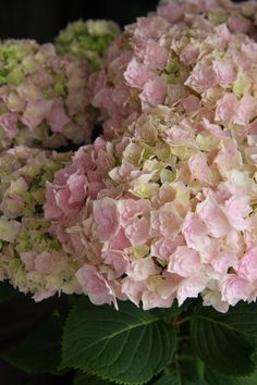 hydrangea galaxy Limelight Hydrangea, Hydrangeas, Fingers, Flower Power, Gardening, Rose, Floral, Green, Plants