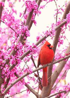 """Cardinal in a redbud tree"" -- << The redbuds are looking so nice right now! ~ May 1, 2014. Here's a gallery of more redbuds ... http://www.pinterest.com/search/pins/?q=redbud%20tree&rs=ac&len=6 . >>"