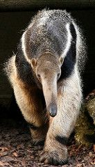 Endangered Giant Anteater (Myrmecophaga tridactyla) - by Réjôme Nature Animals, Animals And Pets, Baby Animals, Funny Animals, Cute Animals, Interesting Animals, Unusual Animals, Animals Beautiful, Strange Animals