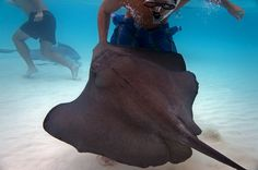 Feeding stingrays in Grand Cayman. | mjsailing.com | sailing blog