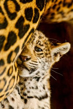 Leopard #cub- love the expression!
