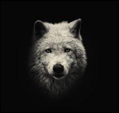 Loup arctique Alex Teuscher