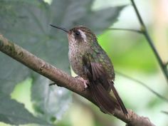 Gallery of Speckled Hummingbird (Adelomyia melanogenys) | the Internet Bird Collection (IBC) | HBW Alive