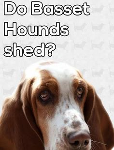Our bassets are most certainly our best assets, but there are occasions where you are exposed to just how stinky these hounds can be. Here is more information about how to deal with the basset hound smell! Hound Dog Breeds, Hound Puppies, Dogs And Puppies, Beagle Puppies, Beagles, Doggies, Baby Basset Hound, Dog Smells, Bassett Hound
