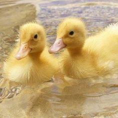 baby ducklings Don't Be Sad, Look At These Baby Ducks Pet Ducks, Baby Ducks, Farm Animals, Funny Animals, Duck Wallpaper, Wallpaper Desktop, Cute Ducklings, Little Duck, Mundo Animal