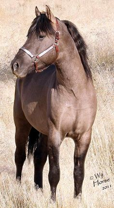 The Morgan Stallion is one of the marvels of the horse world. Contact us today to discuss purchasing one of our colorful Morgan stallions! Beautiful Arabian Horses, Majestic Horse, Pictures With Horses, Horse Photos, Horse Age, Morgan Horse, Horse Silhouette, Types Of Horses, All The Pretty Horses