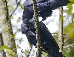 Your Daily Raven via Wendy Davis Photography FB Group Of Crows, World Birds, Birds 2, Wendy Davis, American Crow, Quoth The Raven, Counting Crows, Crows Ravens, Viking Age