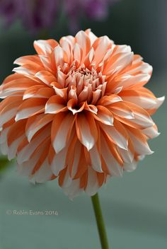 Butterscotch Beauty by RobinEvansStudio (Colorado), via Flickr