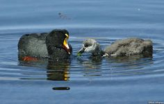 Giant Coot (Fulica gigantea) by Nick_Athanas