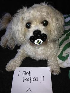 There have been a couple of infants who 'lost' their pacifiers when visiting my pastor's daughter...her little dog, George, 'confiscates' them (pacifiers, not the babies) as soon as one hits the floor.