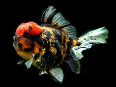 Oranda (Goldfish)
