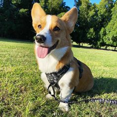 If your dog tends to pull, you'll need Wolf & I Co.'s Reflective No-Pull Dog Harness. Corgi Dog, Dog Harness, Archie, Dapper, Your Dog, Wolf, Puppies, Kit, Explore