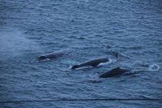 Humpbacks in Grotfjord