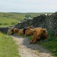 Scottish Highland Cow, Highland Cattle, Scottish Highlands, Beautiful Creatures, Animals Beautiful, Farm Animals, Cute Animals, Fluffy Cows, Cute Cows