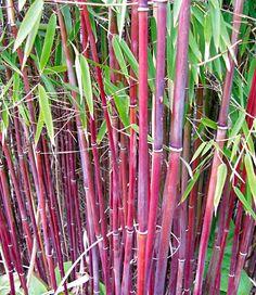 Roter Bambus 'Chinese Wonder',1 Pflanze jetzt günstig in Ihrem MEIN SCHÖNER GARTEN - Gartencenter schnell und bequem online bestellen.