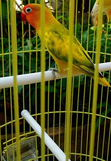 Harga Lovebird Blorok Green Series Pet Birds Love Birds Birds