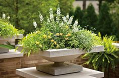 Elegant container design featuring Euphorbia 'Diamond Frost', Luscious Tropical Fruit lantana, Illusion Emerald lace Ipomoea (sweet potato vine) and white Angelface summer snapdragon (White Angelonia) White Plants, Tall Plants, Pot Plants, Large Garden Planters, Potato Vines, Small Space Gardening, Ornamental Grasses, Shade Garden, Container Gardening