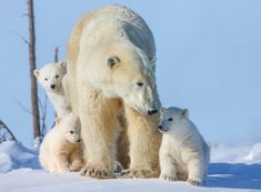 All you may want for Christmas now is ...a polar bear! Wildlife photographer David Jenkins captures the tender moments between a mother polar bear and her three cubs in Wapusk National Park, Canada as they leave their den for the first time.