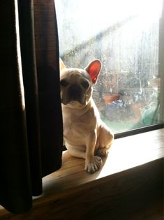 'sun bathing', French Bulldog Puppy.