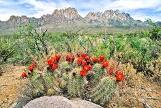 In April and May the bright red flowers of a claret cup cactus, Echinocereus triglochidatus