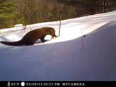 Fisher spotted at Kettle Creek - poconorecord.com - Stroudsburg, PA