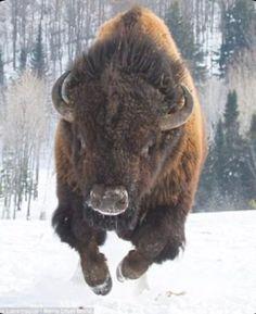 Bison Burger Recipe, Bison Tattoo, Buffalo Tattoo, Bison Recipes, Buffalo Animal, American Bison, Wildlife Park, Friesian Horse, Wild Nature